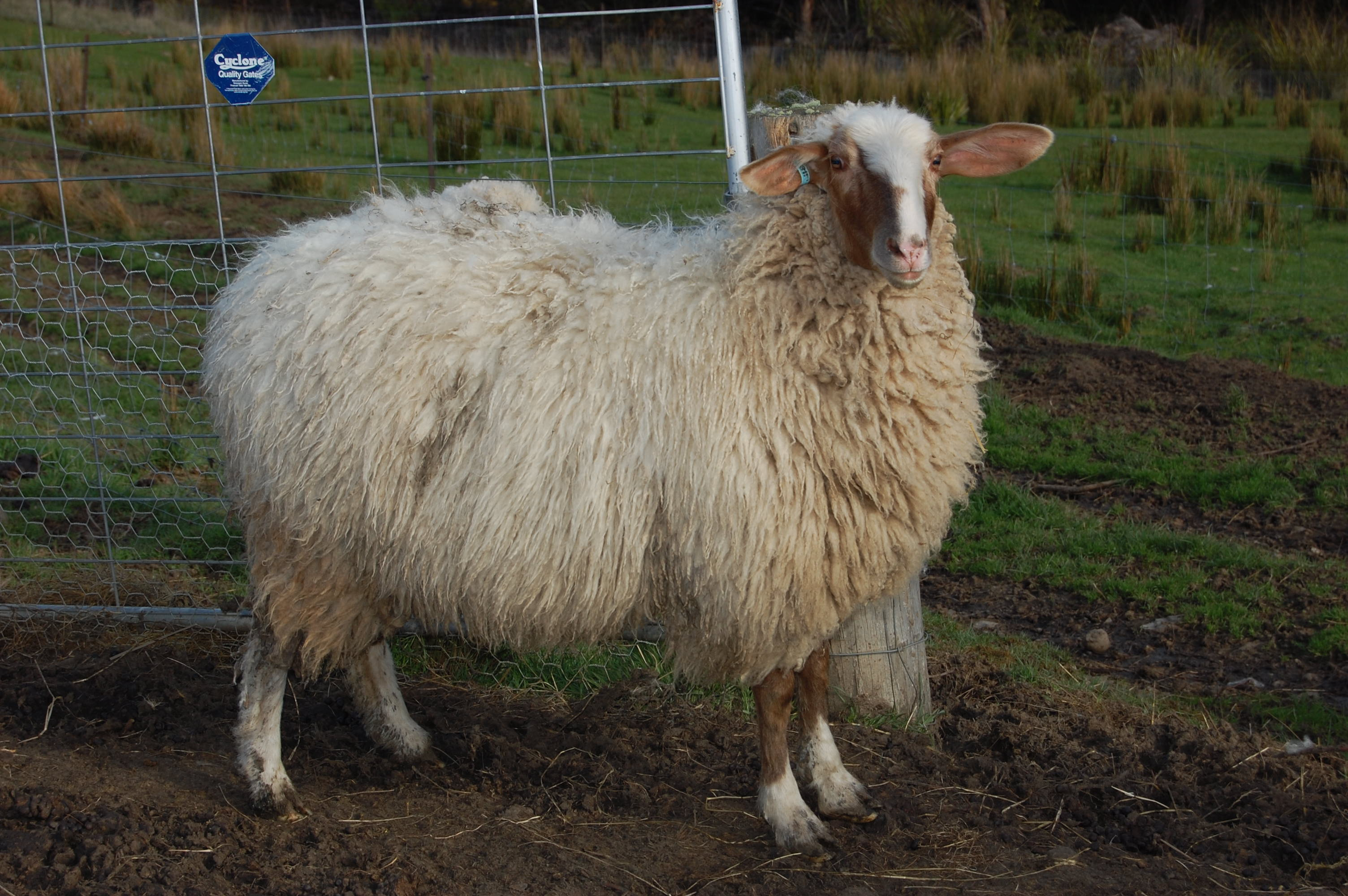 Sheep Genetics for Sale | Grandvewe Dairysheep
